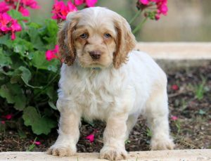 Buster-Cocker-Spaniel-Sporting-Dog-Breed-AKC