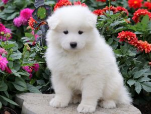 Casey-Samoyed-Working-Dog-Breed-AKC