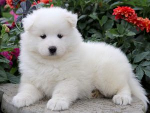 Cathy-Samoyed-Working-Dog-Breed-AKC