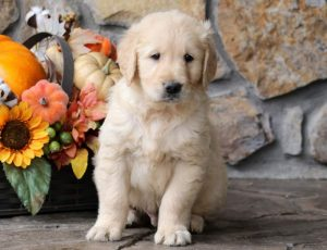 Champ-Golden-Retriever-Sporting-Dog-Breed-AKC-English-Cream