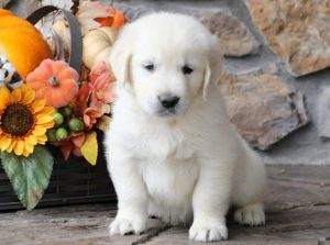 Chase-Golden-Retriever-Sporting-Dog-Breed-AKC-English-Cream