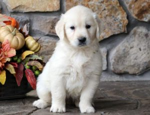Cookie-Golden-Retriever-Sporting-Dog-Breed-AKC-English-Cream