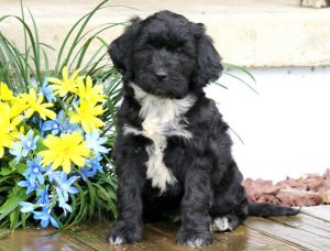Dalilah-Portuguese-Water-Dog-Mixed-Breed