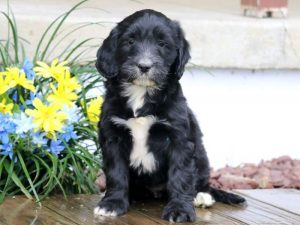 Darcey-Portuguese-Water-Dog-Mixed-Breed