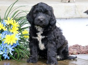 Dash-Portuguese-Water-Dog-Mixed-Breed