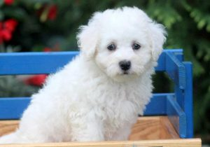 Dexter-Bichon-Frise-Non-Sporting-Dog-Breed-AKC