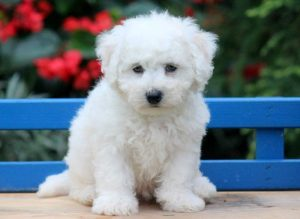 Dodger-Bichon-Frise-Non-Sporting-Dog-Breed-AKC