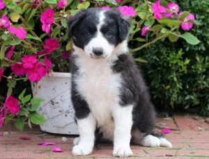 Dolly-Border-Collie-Herding-Dog-Breed-AKC