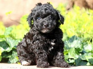 Dolly-Poodle-Toy-Dog-Breed-AKC