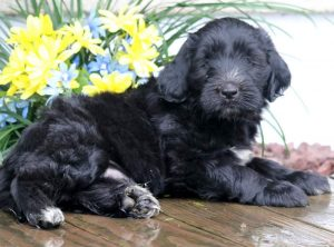 Domino-Portuguese-Water-Dog-Mixed-Breed