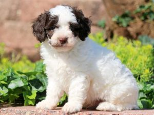 Domino-Poodle-Toy-Dog-Breed-AKC