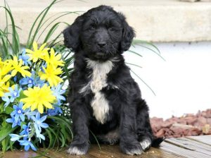 Dora-Portuguese-Water-Dog-Mixed-Breed