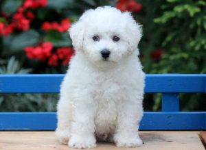 Duke-Bichon-Frise-Non-Sporting-Dog-Breed-AKC
