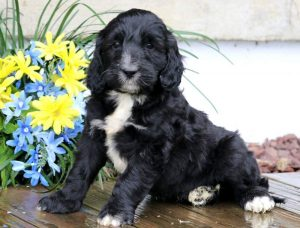 Duke-Portuguese-Water-Dog-Mixed-Breed