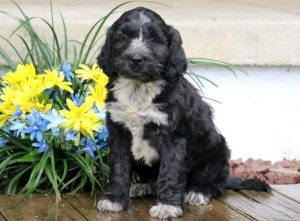 Dylan-Portuguese-Water-Dog-Mixed-Breed