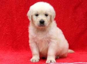 Little-Guy-Golden-Retriever-Sporting-Dog-Breed-AKC-English-Cream