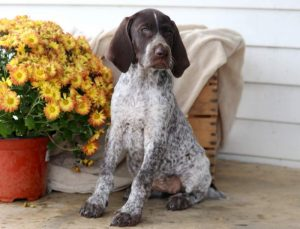 Maddie-German-Shorthaired-Pointer-Dog-Breed-Sporting-AKC