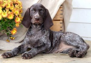 Milly-German-Shorthaired-Pointer-Dog-Breed-Sporting-AKC