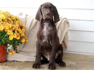 Moe-German-Shorthaired-Pointer-Dog-Breed-Sporting-AKC