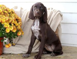 Muffin-German-Shorthaired-Pointer-Dog-Breed-Sporting-AKC