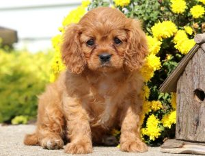Peaches-Cavalier-King-Charles-Spaniel-Toy-Breed-Dog-AKC