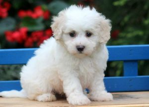 Scooter-Maltipoo-Designer-Breed-Dog-Maltese-Poodle-ACHC-IDCR-ICA