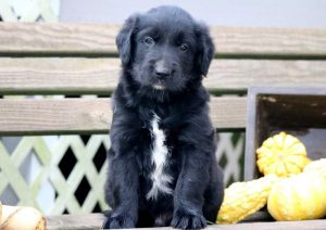 Taz-Golden-Retriever-Mixed-Breed-Dog