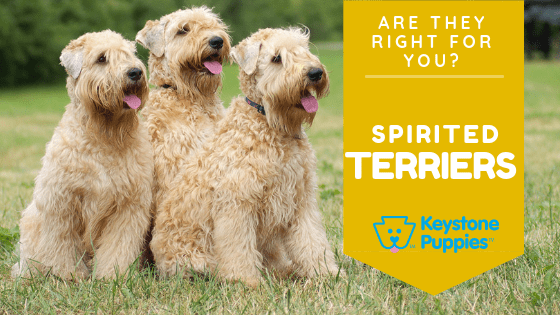 terrier-puppies-healthy-responsibly-bred-Pennsylvania
