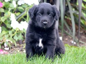 Tweety-Golden-Retriever-Mixed-Breed-Dog