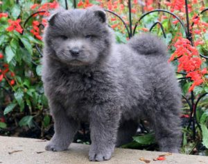 Twilight-Chow-Chow-Dog-Breed-Non-Sporting-AKC