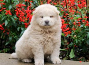 Twinkles-Chow-Chow-Dog-Breed-Non-Sporting-AKC