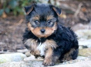 Wes-Yorkshire-Terrier-Dog-Breed-AKC