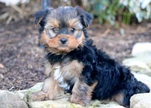 Willy-Yorkshire-Terrier-Dog-Breed-AKC